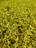 Euonymus Fortunei Emerald n Gold 1L Pot